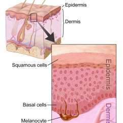 Skin Cross Section Diagram Duck Skeleton What Are The Beginning Signs Of Cancer Sero