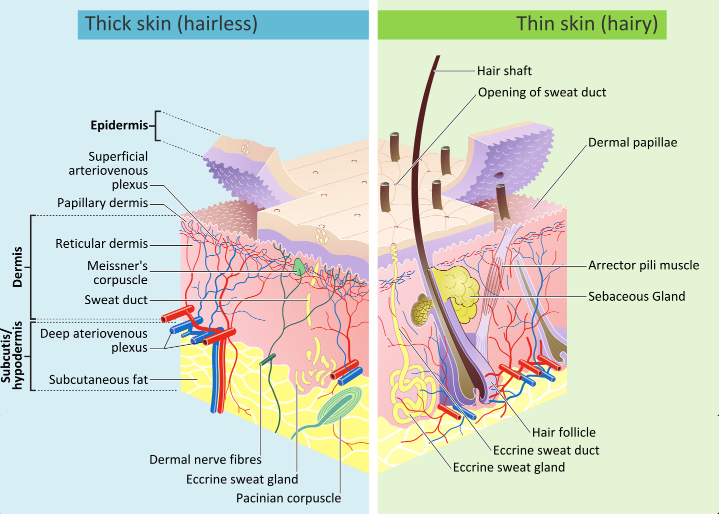 hight resolution of how does the sun damage skin southeast radiation oncology group hearing damage diagram damage skin diagram