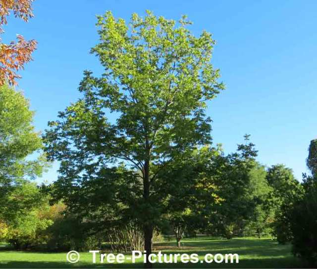 Ash Tree Identification Black Ash Tree Species Ash Trees At Tree Pictures