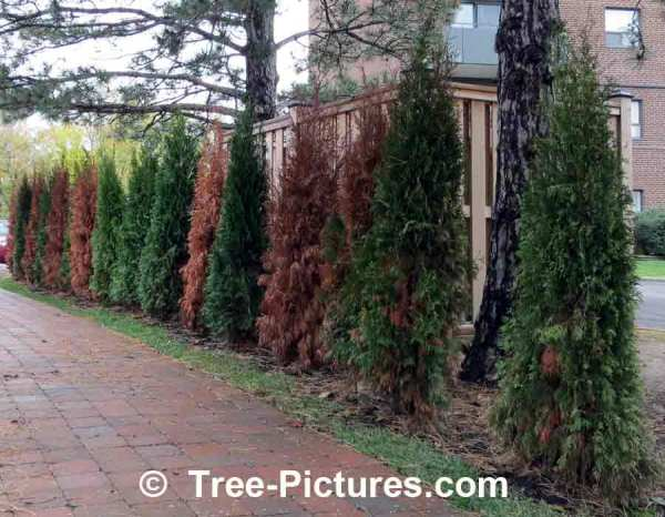 landscaping cedars used privacy