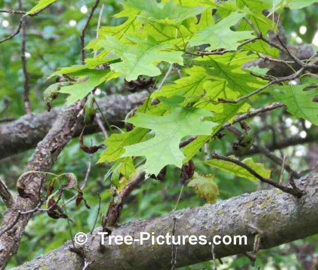 Oak Tree Picture Of Scarlet Oak Trees Leaves Treescarletoakleaf At