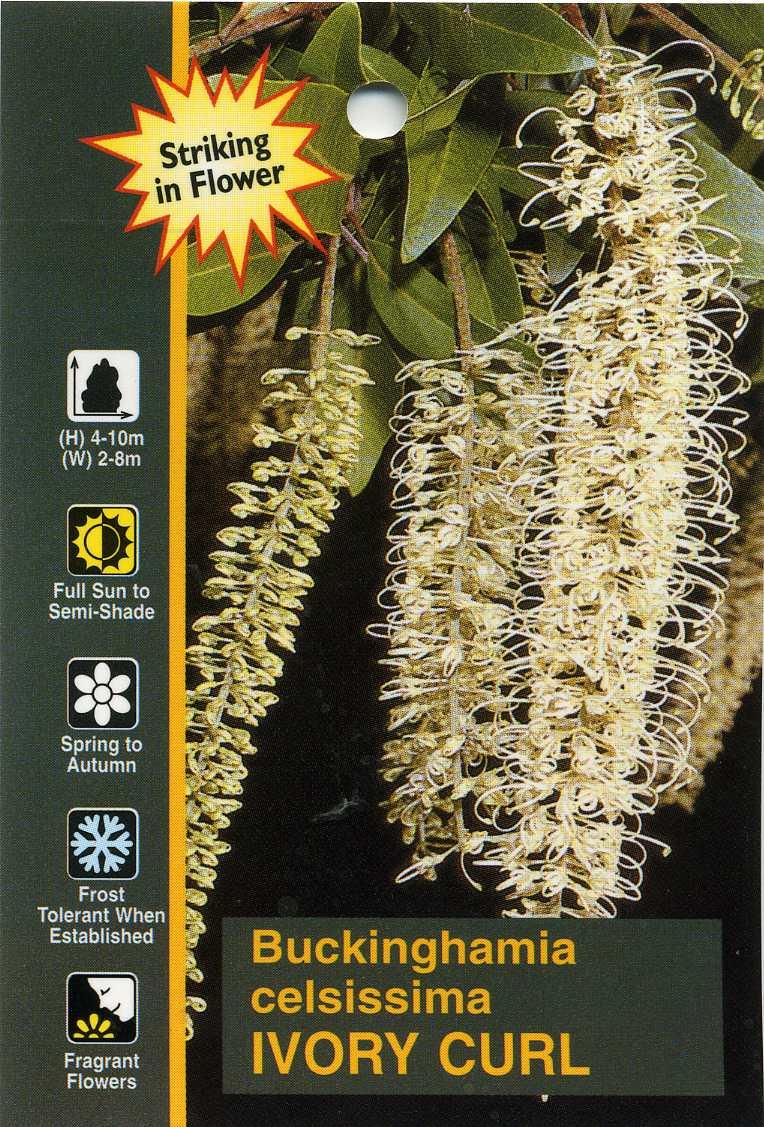 Ivory Curl Buckinghamia Celsissima