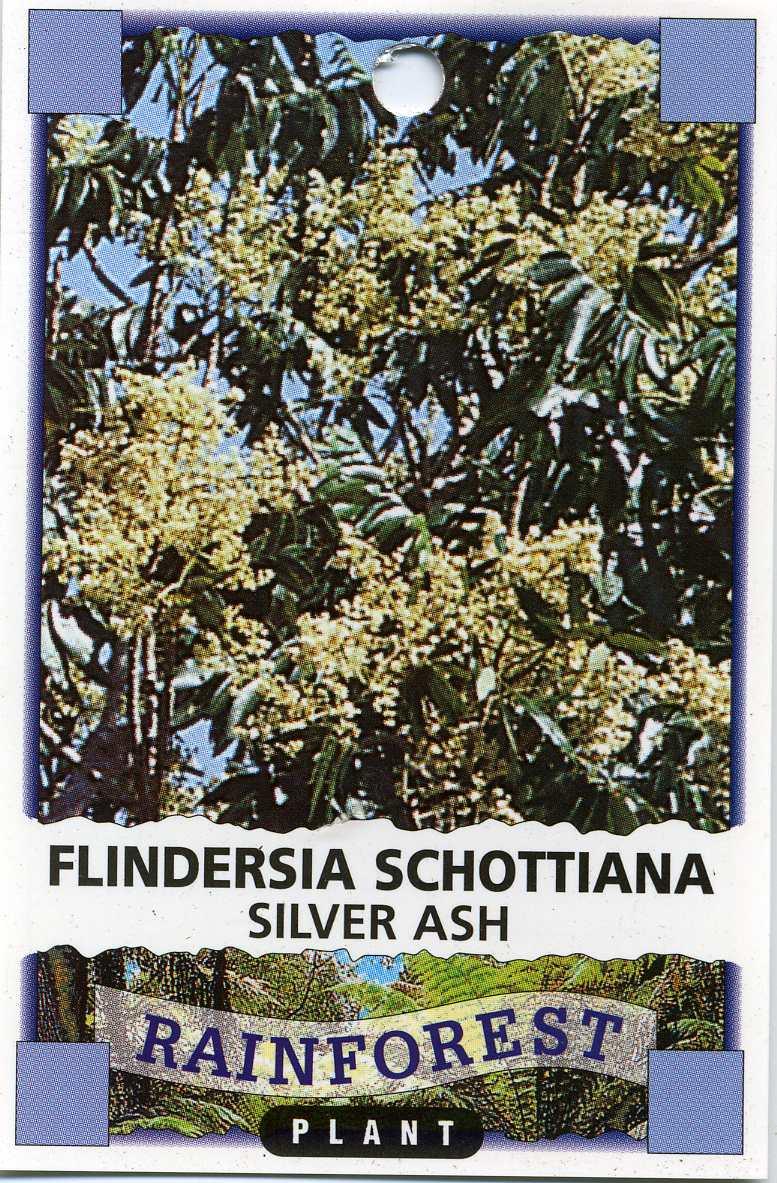 Cudgerie or Silver Ash  Flindersia Schottiana