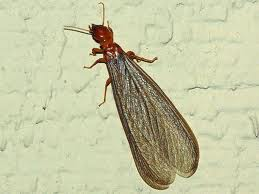 Drywood Termite Swarmer, Termite Control in Lake Forest