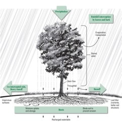 Forest Canopy Diagram Tiger Skeleton Stormwater Benefits Of Trees Tree Bmp The Role A In Controlling Runoff Courtesy Arbor Day Foundation