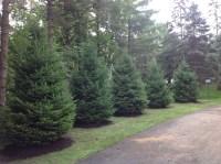 Evergreens for screening - Arbor Hill Tree Farm