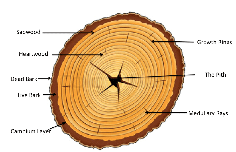 Section Tree Diagram Parts Cross Bark