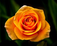 Orange Rose by David Muesbeck