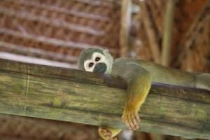 isla de los monos iquitos