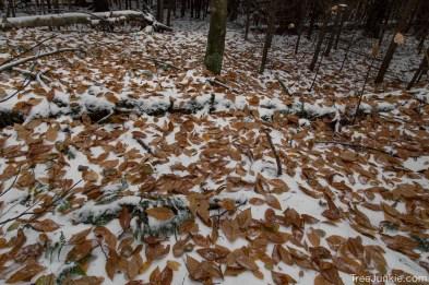 Beech Leaves on Snow