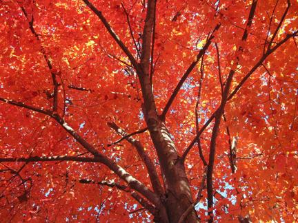 Curiosities Of The Canada Red Maple Tree Caledon Treeland