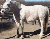 1200 lb horse with 88