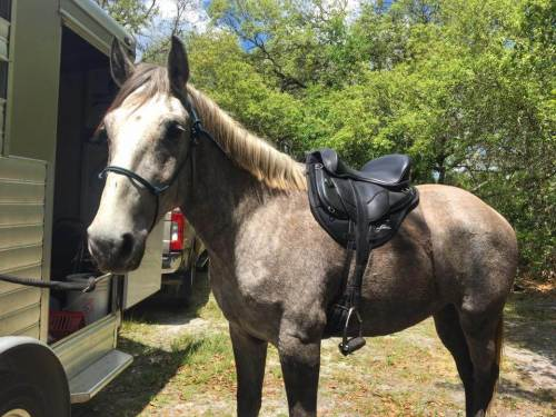 Horse in a Freeform Ultimate Trail Treeless Saddle