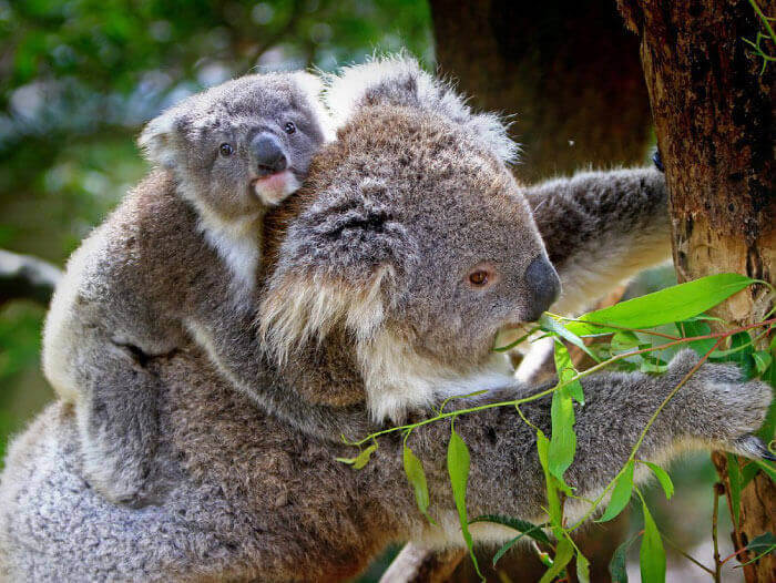 koala tree removal rescue