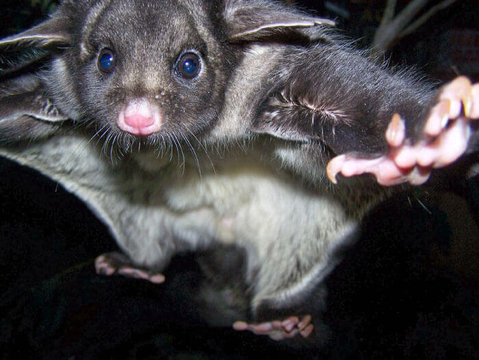 yellow bellied glider rescue