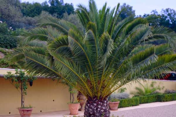 alxander palm weed palm tree