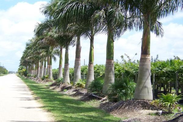 cuban royal palm