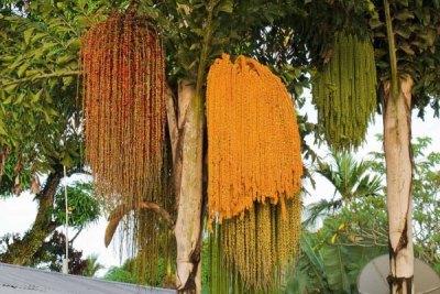 fishtail-palm-brisbane