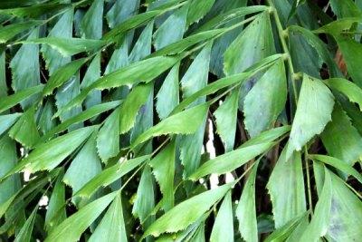 fishtail-palm-gold-coast