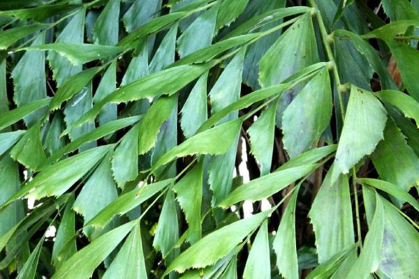 fishtail palm tree