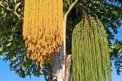 fishtail-palm-tree-gold-coast