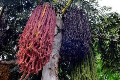 fishtail-palm-tree-ipswich
