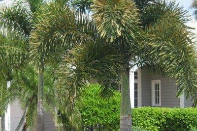 foxtail-palm-tree-brisbane-gold-coast