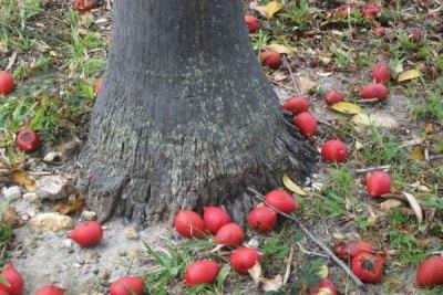 foxtail-palm-tree-seeds-brisbane-