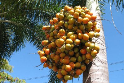 foxtail-palm-tree-southside-brisbane