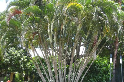 golden-cane-palm-tree-removal-brisbane-northside