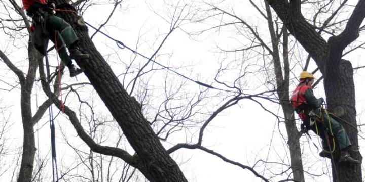 Арбористы ЗДОРОВОГО ЛЕСА установили динамическую систему Кобра на исторический дуб в Летнем саду г. Санкт-Петербурга – памятник живой природы всероссийского значения.