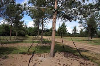 Новая модификация системы «КОБРА» для фиксирования и закрепления древесных растений после пересадки