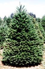 douglas fir oregon pine