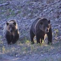 Sea Lion, Salmon, Grizzly Bear, Amnesia & the Mammal Wars.