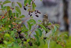 Cedar Waxwings with Chokeberry II