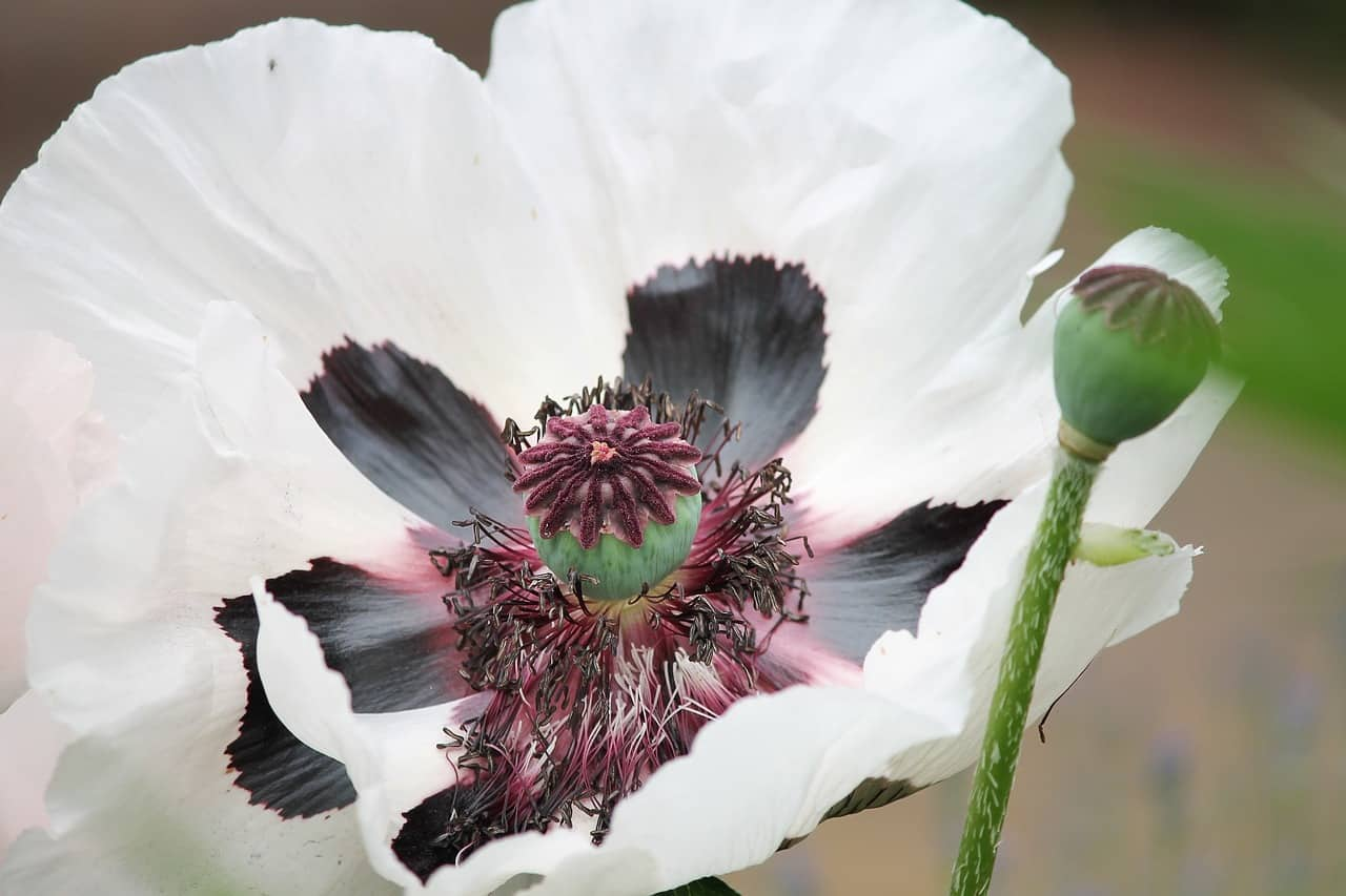 White poppy for November 2018 newsletter