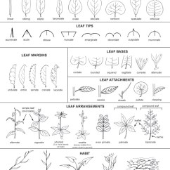 Deciduous Forest Layers Diagram 1971 Chevelle Wiper Wiring Tree Identification – Extras | T.r.e.e. Online