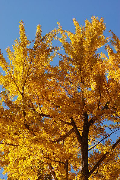 Birch Tree Fall Wallpaper Ginkgo Biloba Tree Pictures Detailed Information On