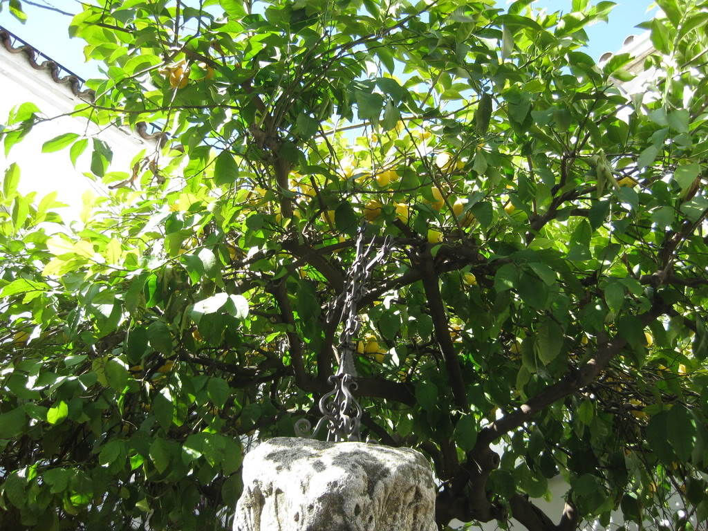 Lime Tree Pictures Images Photos Amp Facts On Lime Trees