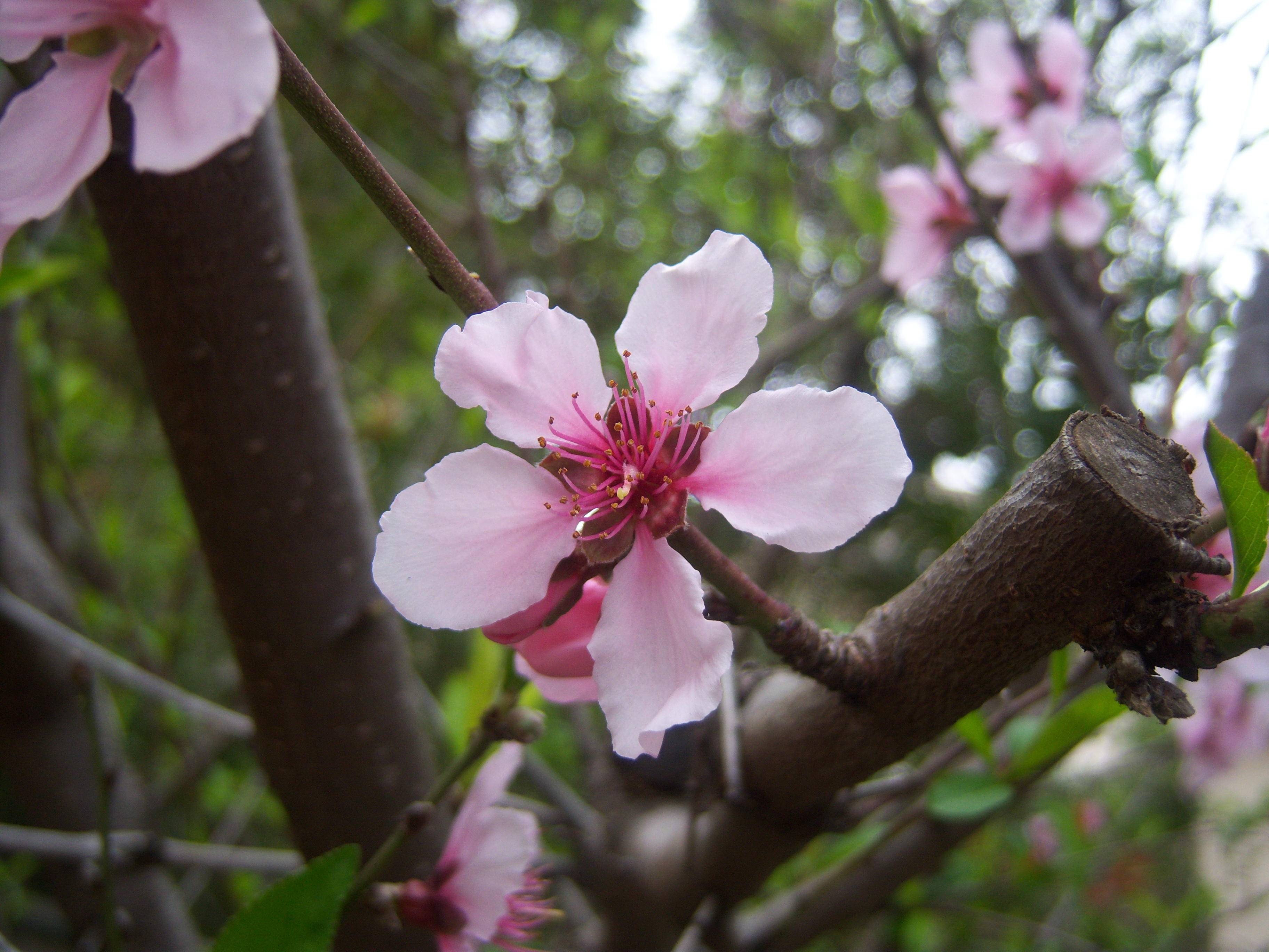 Peach blossoms which just sprouted out this week