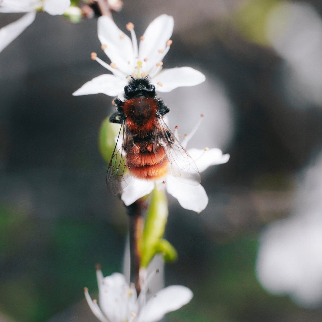 brown and black bee