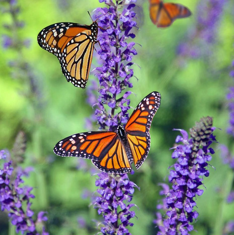 selective focus photography of group of monarch butterflies perching on purple lavender flower