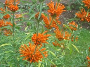Leonitum leonurus