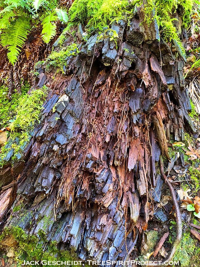 decaying-log-moss-by-Jack-Gescheidt-TreeSpirit-Project-0884-900p-WEB.jpg