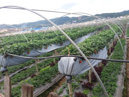strawberry fields forever~