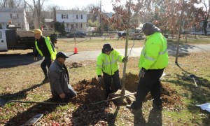 TreeStewards and staff made sure the root flare was uncovered as each tree was planted.