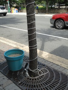 City trees lead a hard life struggling with tree grates, strangles by light wires, and collecting cigarette butts