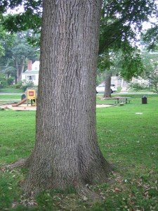 Our white ash provides playground  and picnic table shade. It's loss would impact the community.