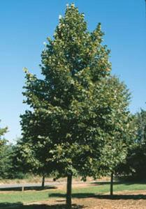 Tilia Americana or Linden or Basswood -- whatever name, it is a great tree