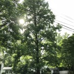 This was the state champion Dawn redwood on North Ohio Street in Arlington. Despite protests, petitions, and public comments, Arlington County did not find a way to save the tree on a large lot where a builder plans to construct two large homes.
